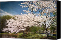 Cultivation Canvas Prints - Cherry Blossoms at Meadowlark Three Canvas Print by Susan Isakson