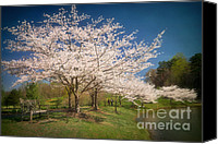 Cultivation Canvas Prints - Cherry Blossoms at Meadowlark Two Canvas Print by Susan Isakson