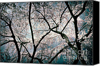 Cultivation Canvas Prints - Cherry Blossoms Blooming Three Canvas Print by Susan Isakson