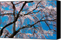 Cultivation Canvas Prints - Cherry Blossoms Blooming Two Canvas Print by Susan Isakson