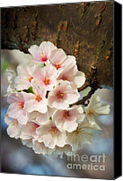 Cultivation Canvas Prints - Cherry Blossoms Close Up Five Canvas Print by Susan Isakson