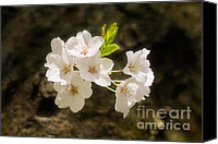 Cultivation Canvas Prints - Cherry Blossoms Close Up Four Canvas Print by Susan Isakson