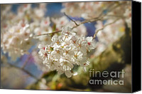Cultivation Canvas Prints - Cherry Blossoms Close Up Canvas Print by Susan Isakson