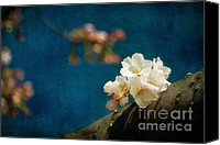 Cultivation Canvas Prints - Cherry Blossoms Close Up Three Canvas Print by Susan Isakson