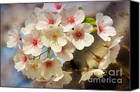 Cultivation Canvas Prints - Cherry Blossoms Close Up Two Canvas Print by Susan Isakson