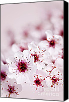 Beautiful Pink Flowers Canvas Prints - Cherry blossoms Canvas Print by Elena Elisseeva