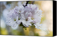 Trees Blossom Canvas Prints - Cherry blossoms Canvas Print by Frank Tschakert