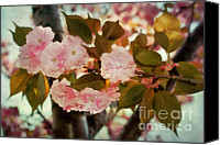 Cultivation Canvas Prints - Cherry Blossoms Kanzan Four Canvas Print by Susan Isakson