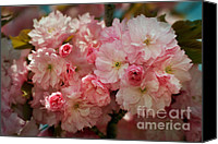 Cultivation Canvas Prints - Cherry Blossoms Kanzan Seven Canvas Print by Susan Isakson
