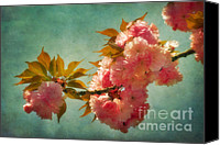 Cultivation Canvas Prints - Cherry Blossoms Kanzan Six Canvas Print by Susan Isakson