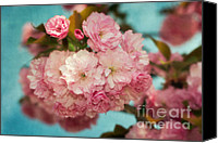 Cultivation Canvas Prints - Cherry Blossoms Kanzan Three Canvas Print by Susan Isakson