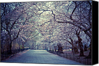 Bridle Canvas Prints - Cherry Blossoms Trees Canvas Print by Vivienne Gucwa