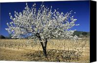 Traveller Canvas Prints - Cherry tree Canvas Print by Bernard Jaubert