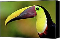 Away Canvas Prints - Chestnut Mandibled Toucan Canvas Print by Photography by Jean-Luc Baron
