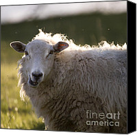 Sheep Photo Canvas Prints - Chewing Canvas Print by Angel  Tarantella