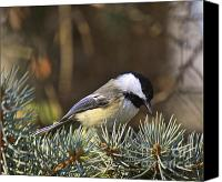 Wildlife Greeting Cards Canvas Prints - Chickadee-10 Canvas Print by Robert Pearson