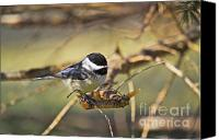 Wildlife Greeting Cards Canvas Prints - Chickadee-11 Canvas Print by Robert Pearson