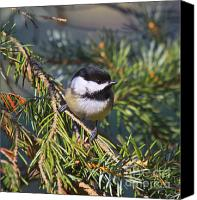Wildlife Greeting Cards Canvas Prints - Chickadee-12 Canvas Print by Robert Pearson