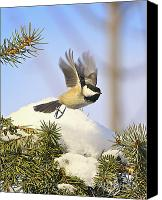 Winter Prints Canvas Prints - Chickadee-13 Canvas Print by Robert Pearson