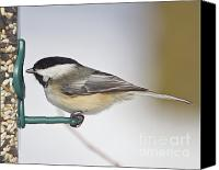 Wildlife Greeting Cards Canvas Prints - Chickadee-4 Canvas Print by Robert Pearson