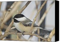 Wildlife Greeting Cards Canvas Prints - Chickadee-5 Canvas Print by Robert Pearson