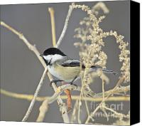 Wildlife Greeting Cards Canvas Prints - Chickadee-8 Canvas Print by Robert Pearson