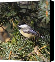 Winter Prints Canvas Prints - Chickadee-9 Canvas Print by Robert Pearson