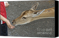 Approaching Canvas Prints - Child feeding deer Canvas Print by Matthias Hauser