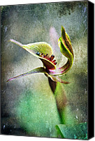 Photoart Canvas Prints - Chiloglottis Canvas Print by David Lade