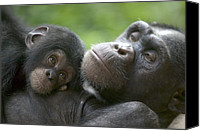Chimpanzee Canvas Prints - Chimpanzee Mother And Infant Canvas Print by Cyril Ruoso