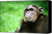 Chimpanzee Photo Canvas Prints - Chimpanzee Pan Troglodytes Adult Canvas Print by Jeffrey Oonk