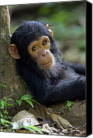 Chimpanzee Canvas Prints - Chimpanzee Pan Troglodytes Baby Leaning Canvas Print by Ingo Arndt