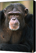 Chimpanzee Photo Canvas Prints - Chimpanzee Pan Troglodytes Male Canvas Print by Gerry Ellis