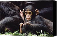 Chimpanzee Photo Canvas Prints - Chimpanzee Pan Troglodytes Mom Canvas Print by Gerry Ellis