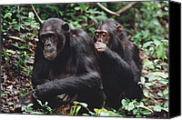 Chimpanzee Photo Canvas Prints - Chimpanzee Pan Troglodytes Pair Canvas Print by Gerry Ellis