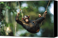 Chimpanzee Photo Canvas Prints - Chimpanzee Pan Troglodytes Resting Canvas Print by Cyril Ruoso