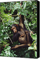 Chimpanzee Photo Canvas Prints - Chimpanzee Pan Troglodytes Swinging In Canvas Print by Gerry Ellis
