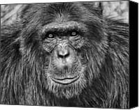 Chimpanzee Photo Canvas Prints - Chimpanzee Portrait 1 Canvas Print by Richard Matthews