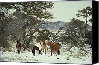 Chincoteague Canvas Prints - Chincoteague Ponies Forage For Food Canvas Print by Medford Taylor