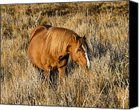 Chincoteague Canvas Prints - Chincoteague Pony Canvas Print by Bill Swindaman