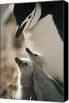 Animal Behaviour Canvas Prints - Chinstrap Penguin Pygoscelis Antarctica Canvas Print by Tui De Roy
