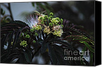 Pudica Canvas Prints - Chocolate Mimosa Tree Canvas Print by Mark McReynolds