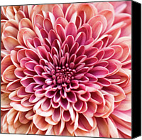 Wayne Canvas Prints - Chrysanthemum Canvas Print by Jody Trappe Photography