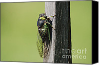 Cicada Canvas Prints - Cicada Green Canvas Print by Randy Bodkins