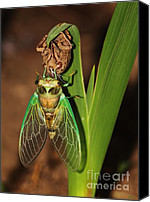 Cicada Canvas Prints - Cicada Canvas Print by Jeff Breiman