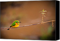 Bee Canvas Prints - Cinnamon-chested Bee-eater Canvas Print by Adam Romanowicz