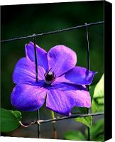 Signed Digital Art Canvas Prints - Clematis Growing on a Fence Canvas Print by Suzanne  McClain