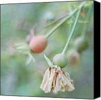 Rose Photography Canvas Prints - Clinging Canvas Print by Pamela N. Martin