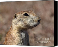 Prairie Dog Photo Canvas Prints - Close On Prairie Dog Canvas Print by Robert Frederick