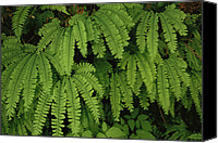 Olympic National Park Canvas Prints - Close Up Detail Of A Fern Fronds Canvas Print by Melissa Farlow